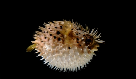 An angry puffed up blow fish on a black background