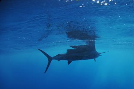 sailfish: Парусник рыба плавание в Атлантическом океане