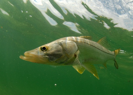 Snook fish swimming in the Atlantic Ocean off the coast of Florida Stock Photo - 13800418