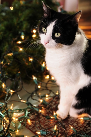 Pretty black and white cat with Christmas lights for the winter holidays