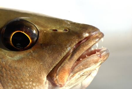 Close up image of mangrove snapper fish head, eyes and teeth Stock fotó
