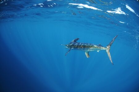 marlin: A white marlin (Tetrapturus albidus) swimming off the coast of Venezuela