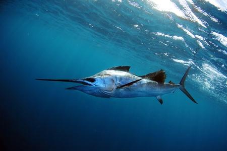 sailfish: pez vela en el agua azul en el océano Foto de archivo