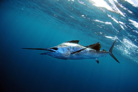 sailfish in blue water in ocean photo