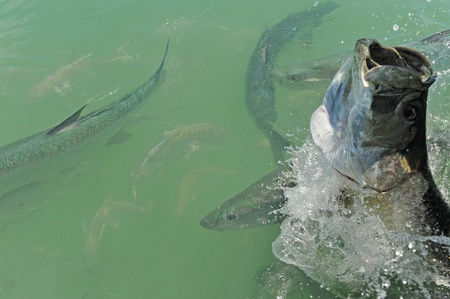 Tarpon fish jumping and swimming off the coast of Florida in the Atlantic Ocean Stock Photo
