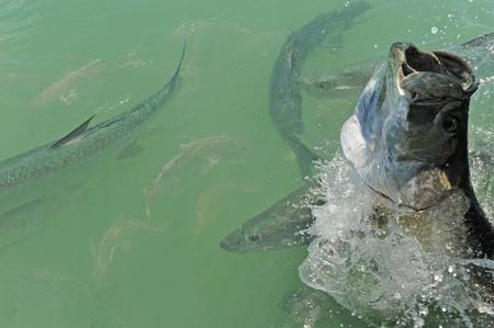 Tarpon vissen springen en zwemmen voor de kust van Florida in de Atlantische Oceaan