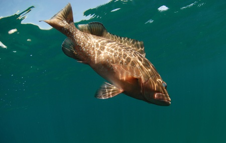 red grouper fish swimming off the coast of the Atlantic Ocean