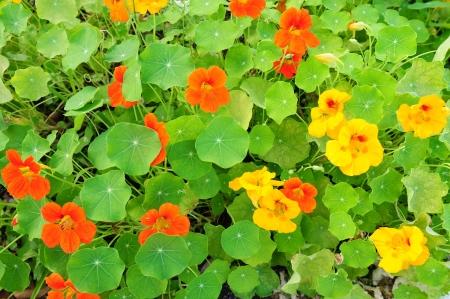 Nasturtium bloemen in oranje en geel Stockfoto