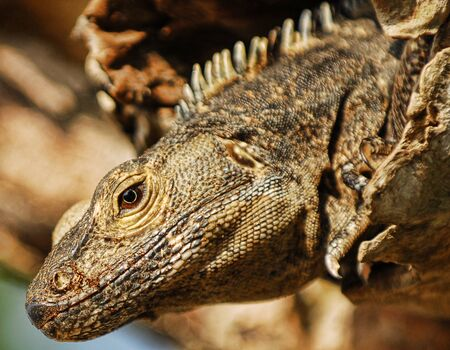 Close up of an iguana peeking its head out from a tree in Costa Rica Banco de Imagens - 13800499
