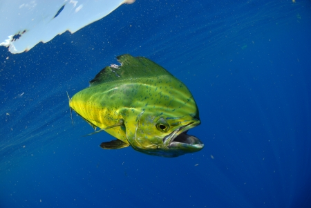 Mahi mahi, or dolphing, swimming in Atlantic Ocean