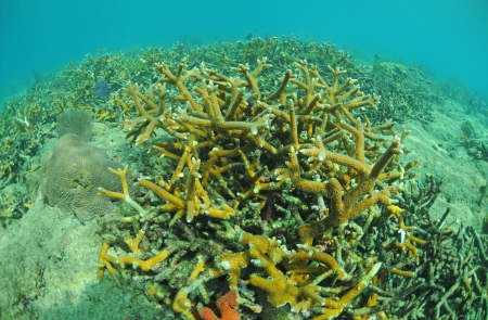 staghorn: coral reef in Atlantic Ocean with a close up view of staghorn coral Stock Photo