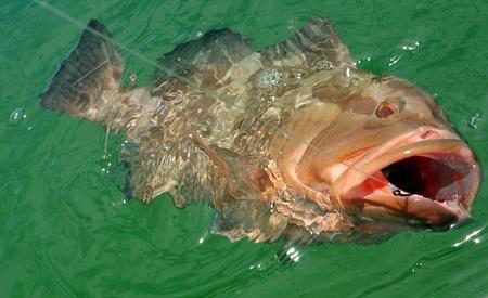 Rode grouper wordt gehaakt in de Atlantische Oceaan, terwijl de sportvisserij