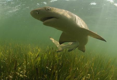Lemon shark swimming in its natural habitat off the coast of the Florida Keys