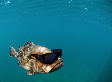 Red grouper underwater in ocean with sunglasses Stock Photo