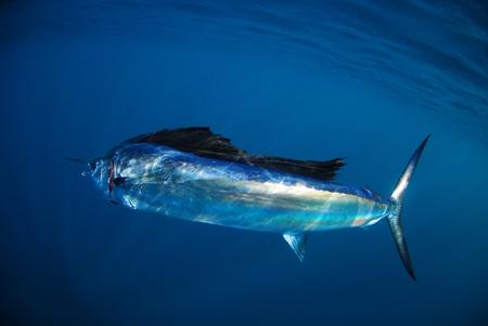 pez vela: pez vela nadando bajo el agua en el oc�ano Atl�ntico en su h�bitat natural Foto de archivo
