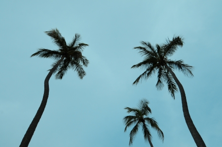 three palm trees: Three palm trees against light blue sky