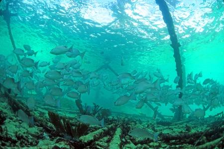 School of mangrove snapper  Lutjanus griseus   fish underwater near oil rig