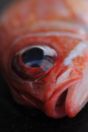 Close up of squirrelfish  Holocentridae  with focus on eye photo
