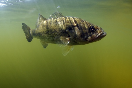 Largemouth bass fish underwater in ocean in natural habitat photo