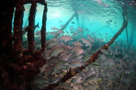 School of mangrove snapper (Lutjanus griseus ) fish underwater Stok Fotoğraf