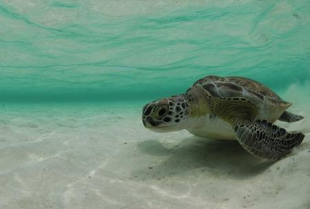 chelonia: A green sea turtle swimming in the ocean underwater in the Atlantic Ocean