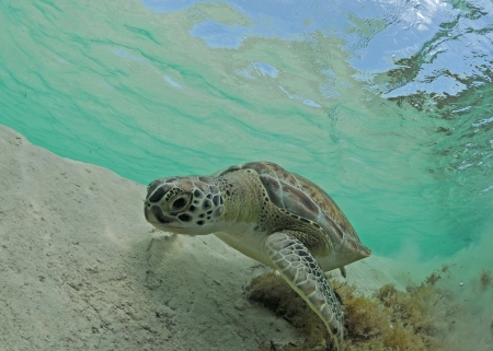 chelonia: A green sea turtle swimming in the ocean underwater in the Caribbean