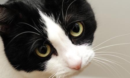 Een leuke zwart-witte kat met droevige gele ogen