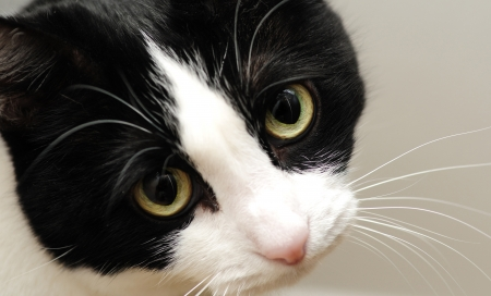 ojos tristes: Un gato blanco y negro lindo con tristes ojos amarillos