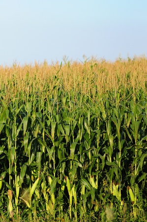 Cornfield with mature cornstalks against a blue sky