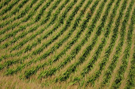 iowa agriculture: rows of corn on a farm in midwest