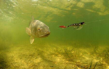 roodbaars vissen onder water met behulp van bat