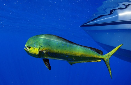 dolphin fish: Dorado dolphin fish also known as mahi-mahi or Coryphaena Hippurusl