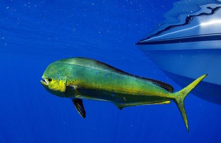 Dorado pez delf�n tambi�n conocido como mahi-mahi o Hippurusl Coryphaena Foto de archivo