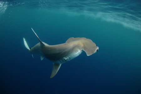 hammerhead shark in its natural habitat in the ocean
