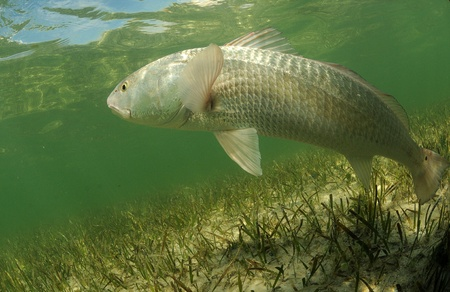 In its natural habitat, a redfish is swimming in the grass flats ocean