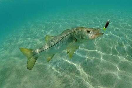 Snook in oceaan jagen lokken tijdens het vissen Stockfoto