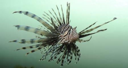 Pez le�n, una especie invasora, frente a la costa de la Florida Foto de archivo