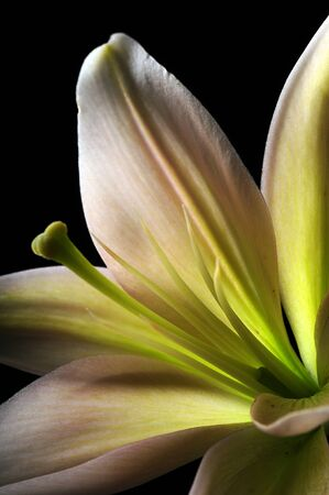 stargazer lily: close up of stamen on white stargazer lily