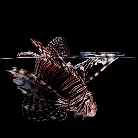 tropical lionfish on black background making a splash in water Stock Photo