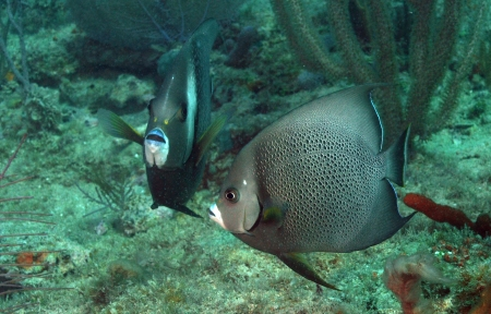 Pomacanthus arcuatus, aka gray angelfish, in ocean Stock Photo - 17818233