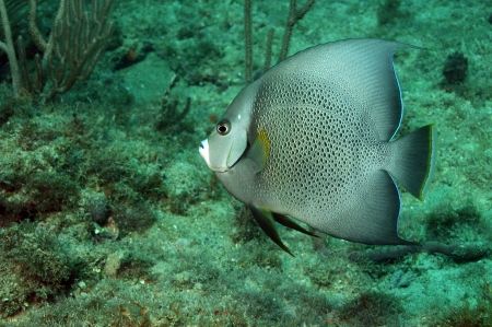 pomacanthus: Pomacanthus arcuatus, gray angelfish, swimming against underwater seascape Stock Photo