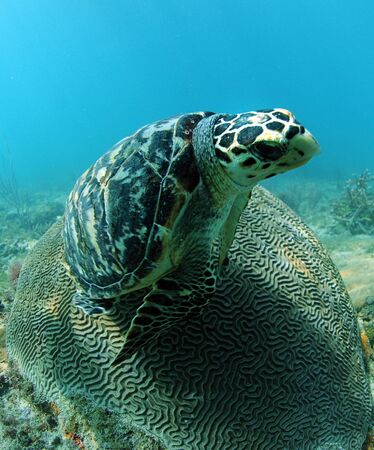 Hawksbill sea turtle, an endangered species, resting on brain coral