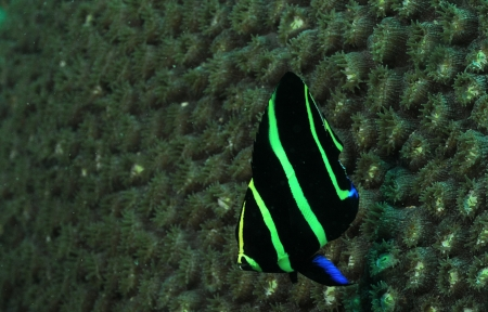 Juvenile French angelfish underwater in ocean Stock Photo - 17818220