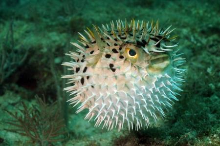 Blowfish or puffer fish underwater in ocean Stock Photo
