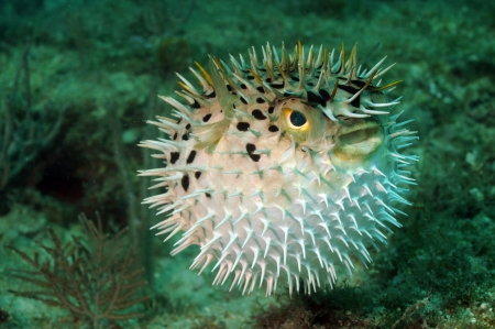Blowfish or puffer fish underwater in ocean Stock Photo
