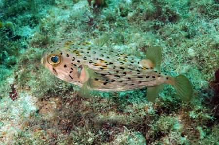 Blowfish or spiny porcupine fish underwater in ocean
