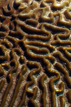 brain coral: close up image of brain coral in ocean with macro details