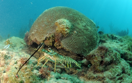 spiny lobster: Caribbean spiny lobster coming out from under brain coral