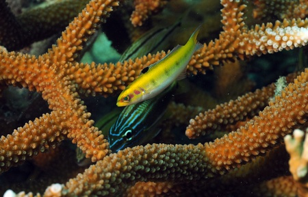 Close up of grunt and yellow wrasse tropical fish with staghorn coral Stock Photo - 17818226