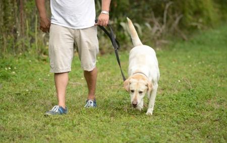teniendo perro labrador amarillo para la caminata en verano